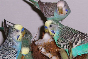 Budgie Food Recipes
