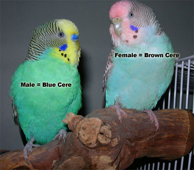 Female Budgie: brown cere, Male Budgie: blue cere