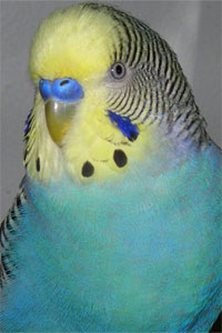 Yellow Face Blue Budgie