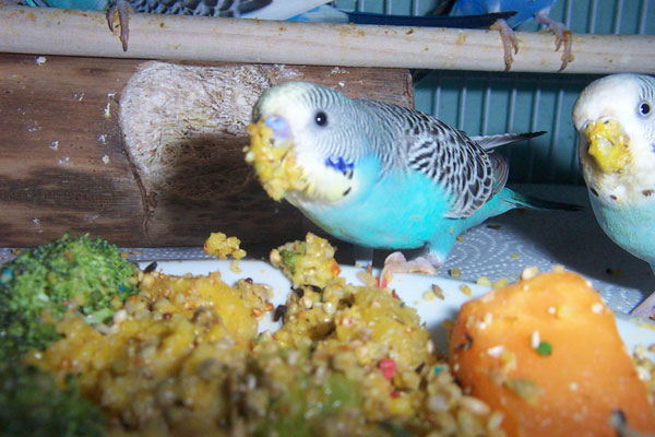 Budgie food budgie food 6 budgies eating from veggie mush from a plate forumfinder Gallery