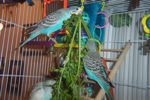 Budgie food budgie food budgies eating carrot tops forumfinder Gallery