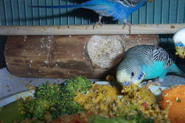 Budgie Food : budgies eating carrots
